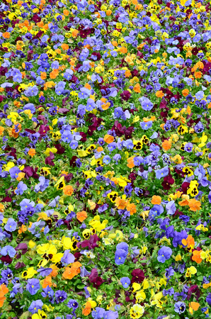 Multicolor pansy flowers or pansies as background or card. Field of colorful pansies with white yellow and violet pansy flowers on flowerbed in perspective. Stock Photo
