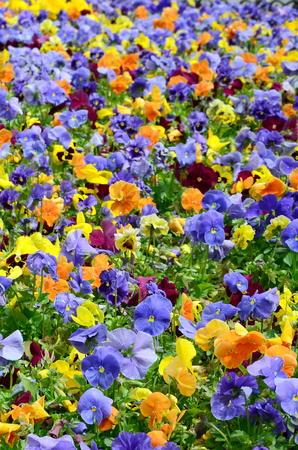 Multicolor pansy flowers or pansies as background or card. Field of colorful pansies with white yellow and violet pansy flowers on flowerbed in perspective. Archivio Fotografico - 117469667