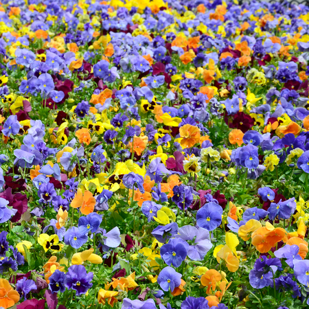 Multicolor pansy flowers or pansies as background or card. Field of colorful pansies with white yellow and violet pansy flowers on flowerbed in perspective. Archivio Fotografico - 117467681