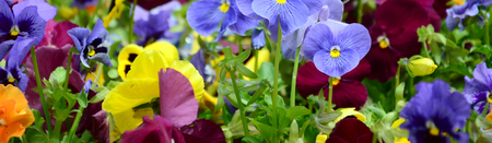 Multicolor pansy flowers or pansies as background or card. Field of colorful pansies with white yellow and violet pansy flowers on flowerbed in perspective. Archivio Fotografico - 117465819