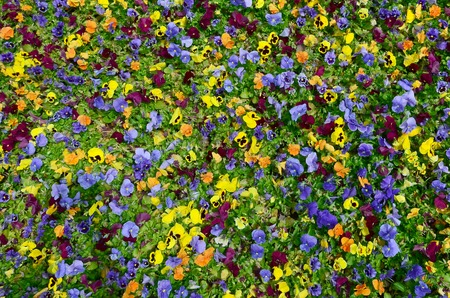Multicolor pansy flowers or pansies as background or card. Field of colorful pansies with white yellow and violet pansy flowers on flowerbed in perspective. Standard-Bild
