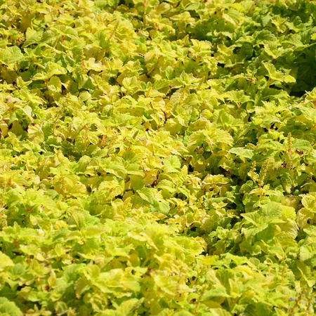 Close up colorful yellow coleus plant in a garden. Top view in sunny day