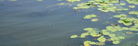 The surface of an old swamp covered with duckweed and lily leaves. Many small green leaves over dark water background Imagens
