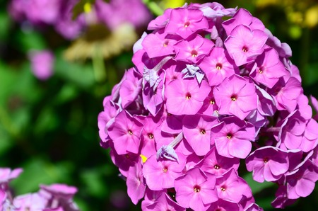 Purple garden Phlox paniculata, pink flowers summer background. Floral pattern of purple flowers blooming in June. Beautiful vivid summer backdrop. Standard-Bild
