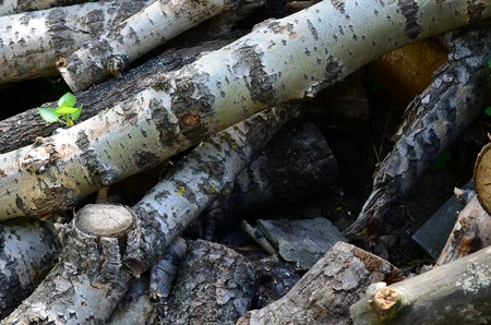 Closeup of firewood from old poplar with rough white bark. Felling of trees