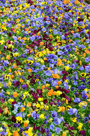 Multicolor pansy flowers or pansies as background or card. Field of colorful pansies with white yellow and violet pansy flowers on flowerbed in perspective. Archivio Fotografico - 117381033