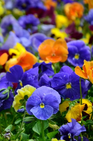Multicolor pansy flowers or pansies as background or card. Field of colorful pansies with white yellow and violet pansy flowers on flowerbed in perspective. Archivio Fotografico - 117380774