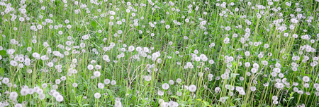 White fluffy dandelions flower in nature, natural background. Many flowers in green meadow close up. Selective focus