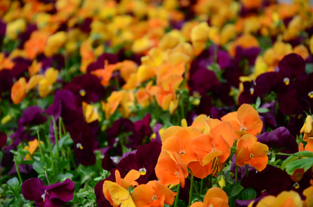 Multicolor pansy flowers or pansies as background or card. Field of colorful pansies with orange and dark red pansy flowers on flowerbed in perspective. Archivio Fotografico - 117313828