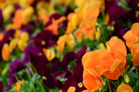 Multicolor pansy flowers or pansies as background or card. Field of colorful pansies with orange and dark red pansy flowers on flowerbed in perspective. Archivio Fotografico - 117313683