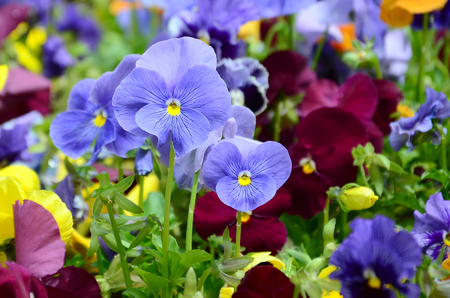 Multicolor pansy flowers or pansies as background or card. Field of colorful pansies with white yellow and violet pansy flowers on flowerbed in perspective. 免版税图像