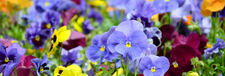 Multicolor pansy flowers or pansies as background or card. Field of colorful pansies with white yellow and violet pansy flowers on flowerbed in perspective. Archivio Fotografico - 116823371