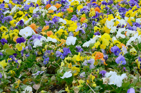 Multicolor pansy flowers or pansies as background or card. Field of colorful pansies with white yellow and violet pansy flowers on flowerbed in perspective. Archivio Fotografico - 117312390