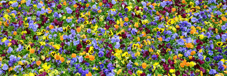 Multicolor pansy flowers or pansies as background or card. Field of colorful pansies with white yellow and violet pansy flowers on flowerbed in perspective. Archivio Fotografico - 117312104