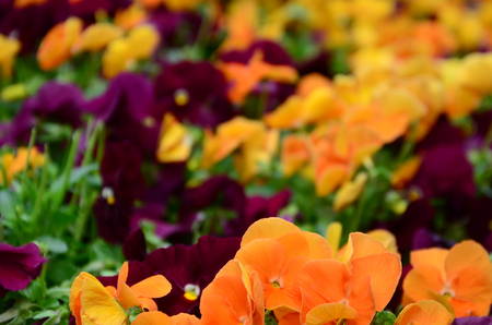 Multicolor pansy flowers or pansies as background or card. Field of colorful pansies with orange and dark red pansy flowers on flowerbed in perspective.
