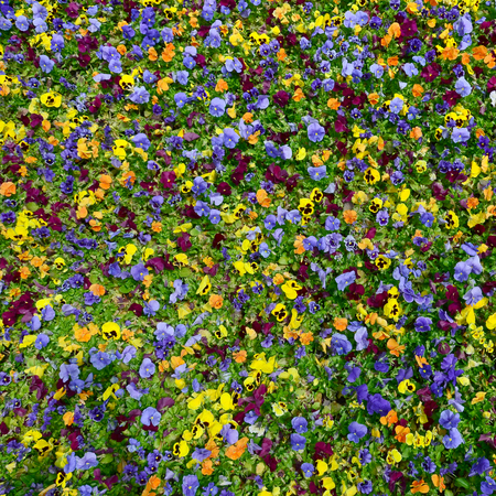 Multicolor pansy flowers or pansies as background or card. Field of colorful pansies with white yellow and violet pansy flowers on flowerbed in perspective. Archivio Fotografico - 117130114