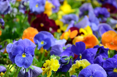 Multicolor pansy flowers or pansies as background or card. Field of colorful pansies with white yellow and violet pansy flowers on flowerbed in perspective. Stok Fotoğraf