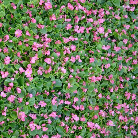 Cover photo of pink begonia flowers. Floral pattern. Flower background texture close up