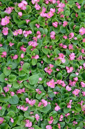 Cover photo of pink begonia flowers. Floral pattern. Flower background texture close up 免版税图像