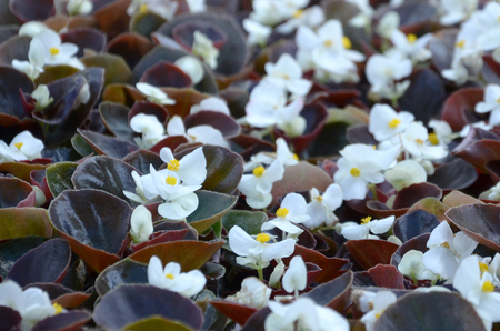 White Begonia cucullata also known as wax begonia and clubed begonia. Field with small white flowers garden close up Imagens