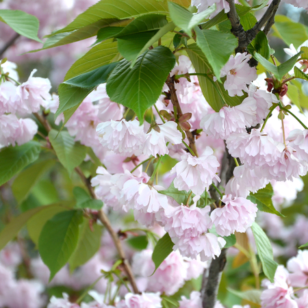 Cherry Sakura in Japan in blossoming season. Pastel pink petals of cherry branch in color similar to living coral