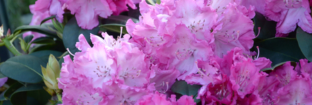 A large bush blooming Rhododendron in the botanical garden. Many pink flowers Rhododendron, beautiful background Reklamní fotografie