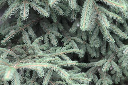 Branches of blue fir close up. Blue or prickly spruce Picea pungens - representative of the genus Spruce from the Pine family Reklamní fotografie