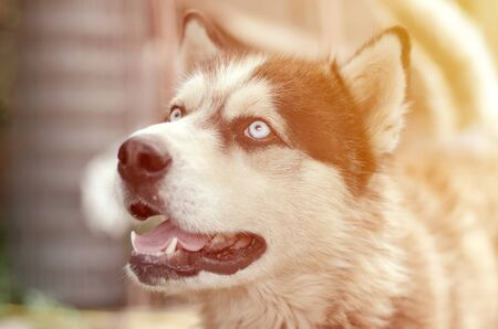 Alaskan Malamute with blue eyes. The Arctic Malamute is a wonderful fairly large dog native type designed to work in harness, one of the oldest breeds of dogs