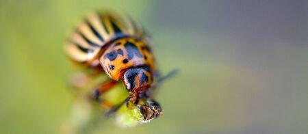 Colorado potato beetle crawling on potato leaves. Ten-striped spearman, the ten-lined beetle or the potato bug, is a major pest of potato crops. Leptinotarsa decemlineata