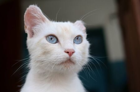 A pure white cat with turquoise blue eyes and pink defective ears outdoors.