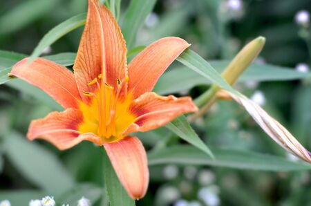 Orange lily flowers with green stems grow in a country house garden. Lilium bulbiferum is a herbaceous European lily with underground bulbs