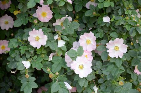 Rosa canina or dog rose. Variable climbing wild rose species with light pink petals