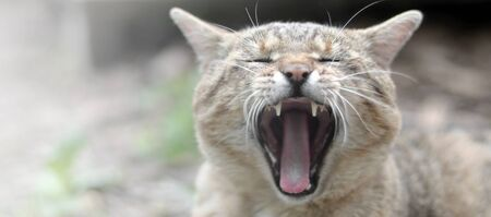 Brown tabby domestic cat yawning with a blurred green yard in the background