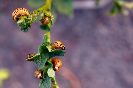 Colorado potato beetle larvae eat leaf of young potato, closeup. Pests destroy a crop in the field. Parasites in wildlife and agriculture Stok Fotoğraf