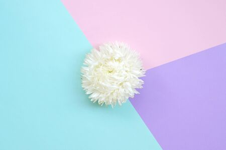 White Chrysanthemum flower on pastel blue pink and lilac background top view. Flat lay style minimalism Фото со стока - 132117297
