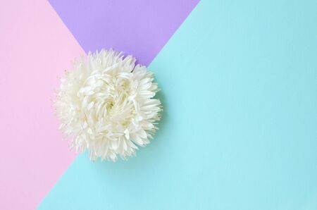 White Chrysanthemum flower on pastel blue pink and lilac background top view. Flat lay style minimalism