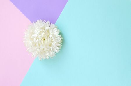 White Chrysanthemum flower on pastel blue pink and lilac background top view. Flat lay style minimalism Фото со стока - 132117546