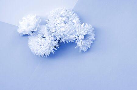 White Chrysanthemum flowers on phantom classic blue color top view. Flat lay style minimalism