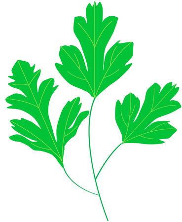 coriander cilantro green leaf Stock Vector - 24902291