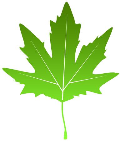 green poplar chinar leaf Stock Vector - 24902298