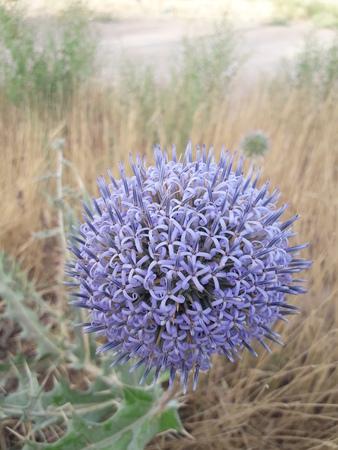 Stachelige Blume geformt ein Bündel von kleinen blauen Blüten