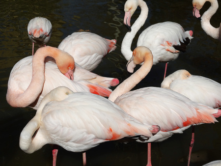 Herde von Flamingo auf schwarzem Hintergrund