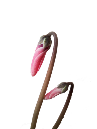 bud of cyclamen flower isolated on white background