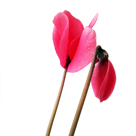Cyclamen flower wing isolated on white background 写真素材