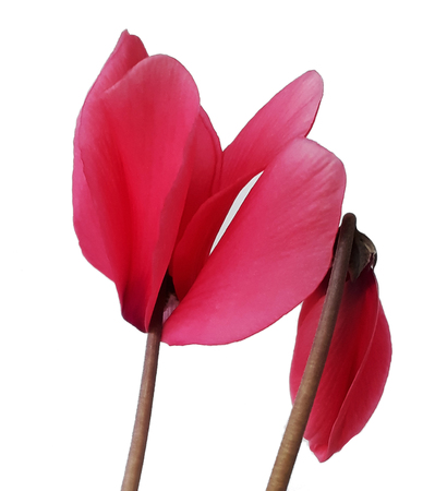 cyclamen flower wing isolated on white background