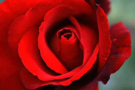Red Rrose photo