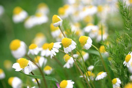 daisy background Stock Photo - 5711360