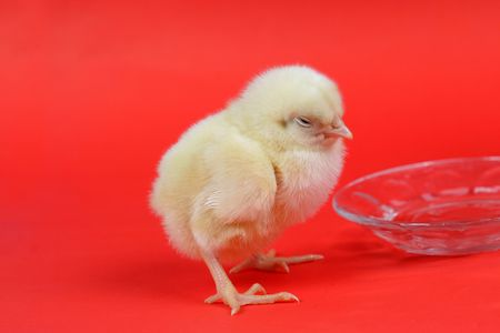 chicken baby photo