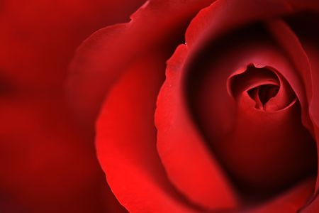 red rose Stock Photo - 5711593