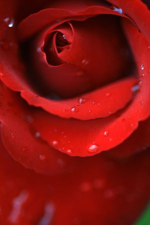 red rose Stock Photo - 5711609